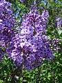 Lilacs Lord